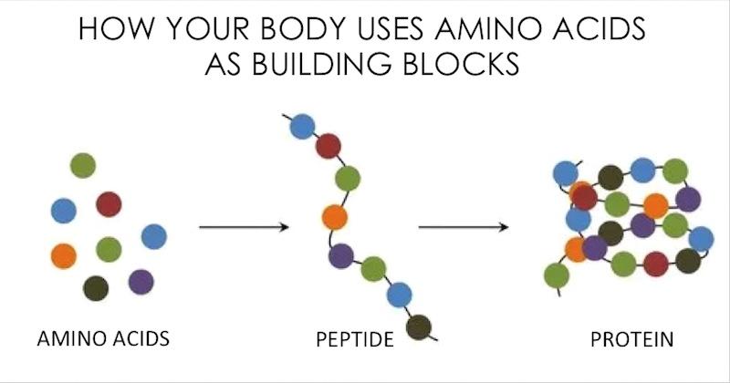 Важные элементы клетки - аминокислота, пептид, белок