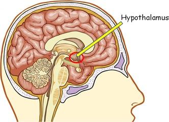 Гипоталамус - орган, управляющий старением. Антивозрастные пептиды.