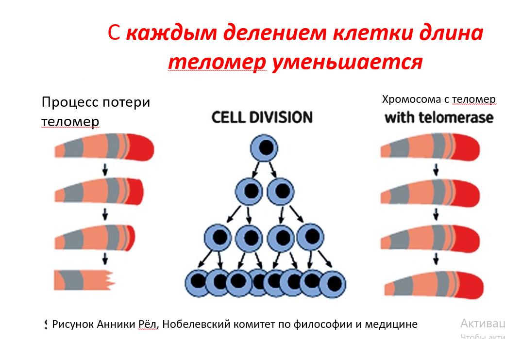 Процесс уменьшения теломер у хромосомы. Антивозрастные пептиды
